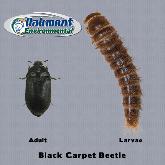 Get Rid Of Carpet Beetles In New Jersey Oakmont Environmental