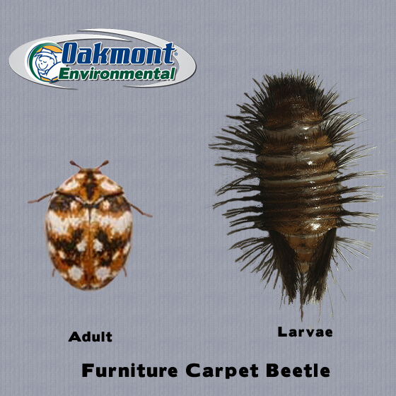 carpet beetle larvae, carpet beetle larvae nj, carpet beetle eggs, pics of carpet beetles, carpet beetle pics, carpet beetle larvae nj