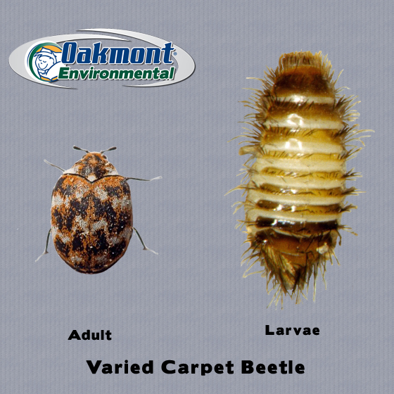 get rid of carpet beetles, get rid of carpet beetles nj, get rid of carpet beetles new jersey, get rid of carpet beetles monmouth county, get rid of carpet beetles ocean county, get rid of carpet beetles middlesex county, carpet beetle bites, carpet beetle bites nj, pics of carpet beetle bites